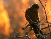 """فيديو.. طائر يتسبب في زيادة حرائق أستراليا.. والسكان يطلقون عليه """"صقور النار"""""""