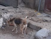سيبها علينا.. قارئ يشكو من انتشار الكلاب الضالة بشارع النبراوى الجديد بالجيزة