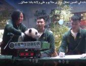 عقبال مليون سنة.. حديقة حيوانات صينية تحتفل بذكرى مئة يوم على ولادة باندا