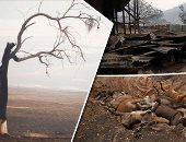 قرى أستراليا تتحول لمقابر.. آلاف الحيوانات أحرقتها النيران والخسائر تقدر بالملايين.. السكان يحفرون خنادق لدفن الحيوانات دون ردم فى انتظار المزيد.. ومطالبات للحكومة بكشف خطط إنقاذ الاقتصاد.. صور