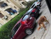 قارئ يشكو انتشار كلاب شرسة بدون صاحب بحى الأشجار فى 6 أكتوبر