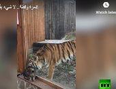 الصداقة مش بالحجم.. نمر وقط تجمعهما صداقة قوية