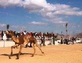 هجانة من كل محافظات مصر يشاركون فى سباق الهجن بشرم الشيخ الخميس المقبل