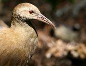 كيف أنقذ العلماء الطيور المهددة بالانقراض فى جزر أستراليا؟