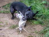 صور.. كلاب تصطاد 700 فأر فى مزرعة خلال يوم واحد ببريطانيا
