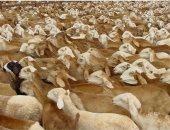 السعودية ترفع حظر استيراد الماشية السودانية