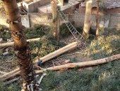 شكاوى مجلس الوزراء تستجيب لليوم السابع وتوقف مذبحة أشجار كافور مدينة نصر