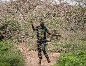الفاو تحذر من موجه ثانية من الجراد تصل شرق أفريقيا يونيو المقبل