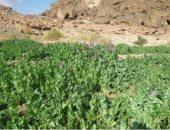 حدائق الشيطان.. 20 صورة ترصد 400 مزرعة مخدرات بسيناء قبل حرقها