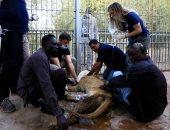 خبراء أجانب يحاولون إنقاذ حياة الأسود الهزيلة والمريضة فى السودان