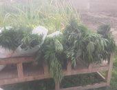 أمن الأقصر يضبط مدرس لزراعته 420 شجرة بانجو وسط زراعات الفول بإسنا