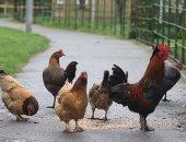 80 جنيها غرامة إطعام الدجاج فى بريطانيا