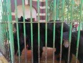 شاهد.. معركة سماح وسميحة زوجات الدب هانى على طبق أرز باللبن بحديقة حيوان الجيزة