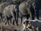 """ناميبيا تقتل 10 أفيال """"خطيرة"""" لحماية المزارعين والمحاصيل"""