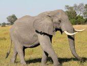 خبراء يحذرون من كارثة عالمية بعد بيع 60 فيلاً وتعريضها للقتل