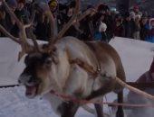 سباق غزلان الرنة فى شمال السويد يجذب السياح من جميع أنحاء العالم.. فيديو