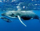 """بياكل أى حاجة.. علماء يكتشفون نوعا جديدا من الحوت القاتل """"فيديو"""""""