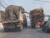 فيديو.. فيلان يسرقان قصب السكر من شاحنة أثناء توقفها فى إشارة مرور