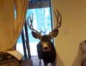 أمريكية تستدرج غزلان برية من غابات كولورادو لتربيتهم فى منزلها.. فيديو