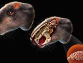 القارض العملاق.. علماء يدرسون لغز فأر بحجم إنسان عاش قبل ملايين السنين