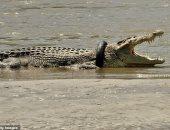 صياد أسترالي في مهمة للقبض على تمساح بإندونيسيا.. اعرف قصته