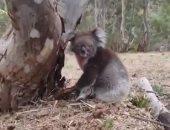 """""""كوالا"""" يبحث عن منزل جديد بعد تحسن الأحوال الجوية في غابات استراليا..فيديو"""