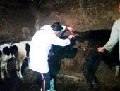بيطرى الوادى الجديد تؤكد تحصين 50685 رأس ماشية ضد مرض الجلد العقدى