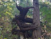 تنين وملاك ساقط.. لقطات غريبة ومخيفة لأشجار حول العالم.. صور