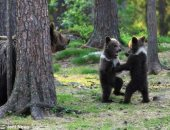 """""""كأنهم بشر"""".. دببة صغار ترقص فى غابة وسط مراقبة الأم.. صور"""