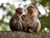 باحثون: القرود تمتلك إمكانية تكوين أجسام مضادة تقى من تجدد الإصابة بكورونا