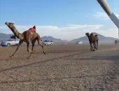 انطلاق فعاليات مهرجان سباق الهجن بشرم الشيخ