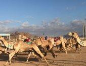 صور .. انطلاق فعاليات ثانى أيام مهرجان سباق الهجن بشرم الشيخ
