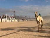 صور .. حكايات سباقات الهجن فى الميدان من البداية للنهاية