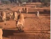 عامل ينظم رحلة لحيوانات الكنغر باستراليا لإعادة دمجهم فى حياة الغابة..فيديو