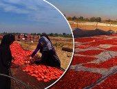 """صور.. مشروع """"الطماطم المجففة"""" بالأقصر لربط المزارعين بالأسواق العالمية.. و""""الزراعة"""": زيادة قيمة الثمرة المنتجة بنسبة 100%.. وتوفير 200 فرصة عمل فى الموسم للسيدات الريفيات"""