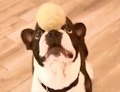 """""""لعيب درجة أولى"""" ..كلب موهوب فى مداعبة الكرة والبالون برأسه وأنفه.. فيديو"""