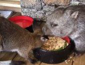 كوالا وكنغر يتشاركان الطعام فى إناء واحد بمنزل أسترالى قبل عودتهما للغابة.. فيديو