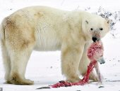 صدمة بيئية..الدببة القطبية تأكل بعضها بسبب تغير المناخ وأنشطة البشر