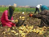 69.8 مليون دولار صادرات مصر من البطاطس فى مارس الماضى
