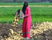 الزراعة: ارتفاع  صادرات بطاطس  لـ 658 ألف طن للأسواق العالمية