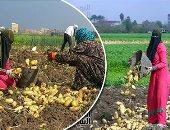 الزراعة: صادرات البطاطس تحقق 667546 طنا وتحتل المركز  الثانى بعد البرتقال