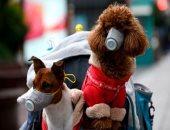 هل الكلاب والقطط. تنقل عدوى كورونا للإنسان؟ الأبحاث تنفى دورها فى تفشى الوباء