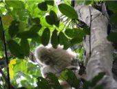 شاهد.. القرد الوحيد فى العالم المصابة بالبهاق فى غابة بورنيو بأسيا