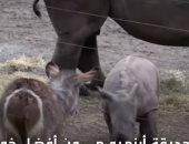 شاهد.. صغير وحيد القرن يتعرف على الحيوانات للمرة الأولى
