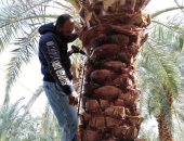 الزراعة: استمرار أعمال حملة مكافحة سوسة النخيل بالواحات والوادى الجديد