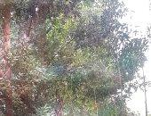 محافظة الغربية تطرح 206 أشجار تم إزالتها من محطة إنتاج البيض للبيع