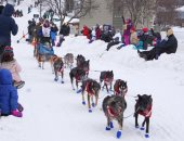 سباق تزلج كلاب تجر عربات فى ولاية ألاسكا الأمريكية