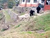 حراس يتنكرون بملابس غوريلا لإخافة قرود هائجة على حدود الهند.. فيديو