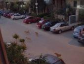 """سيبها علينا """" قارئ يشكو انتشار الكلاب الضالة بمنطقة زهراء مدينة نصر"""