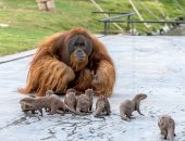 صور.. إنسان الغاب وثعالب البحر تمرح فى حديقة بلجيكية.. إيه الحكاية؟